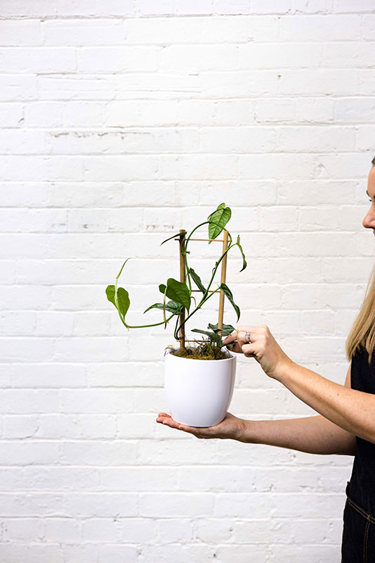Monstera Siltepecana - Mater Florist Brisbane