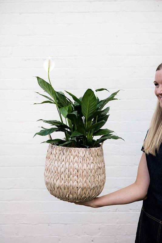 Peace Lily - Mater Florist Brisbane